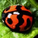 Menochilus sexmaculatus