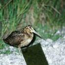 Amami Woodcock