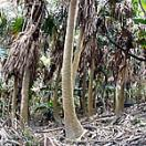 Kuba (tree)