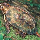 Ryukyu Black-breasted Leaf Turtle