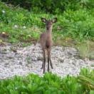 Kerama deer, Keramajika