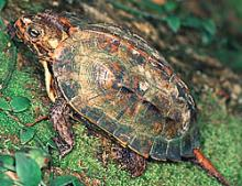 Ryukyu Black-breasted Leaf Turtle